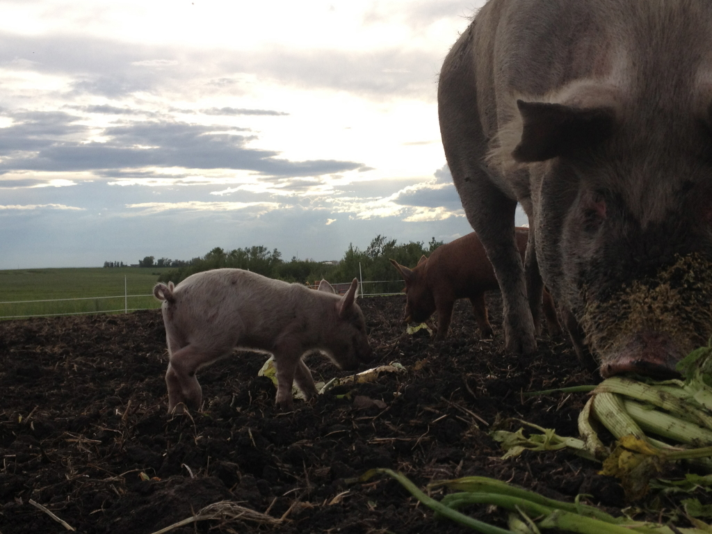 Pigs eating compost celery (1)